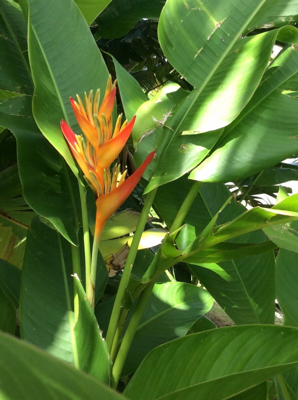 Superbes plantes en guadeloupe