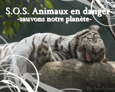 Ours polaire, tigre!