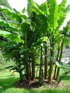 Bananiers musa basjoo et red tiger importation de palmiers rustiques a tropicaux - Salade qui ne gele pas ...