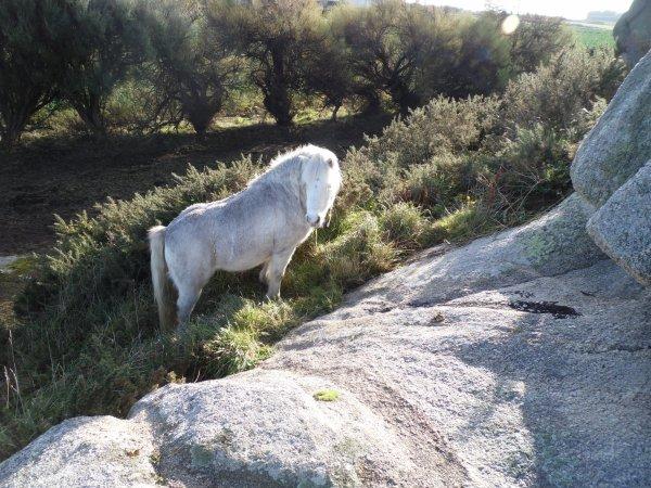 les poneys :)