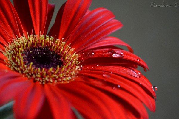 Macro : Gouttes d'eau sur une fleur. Nikon D3100 - 18-55 mm.