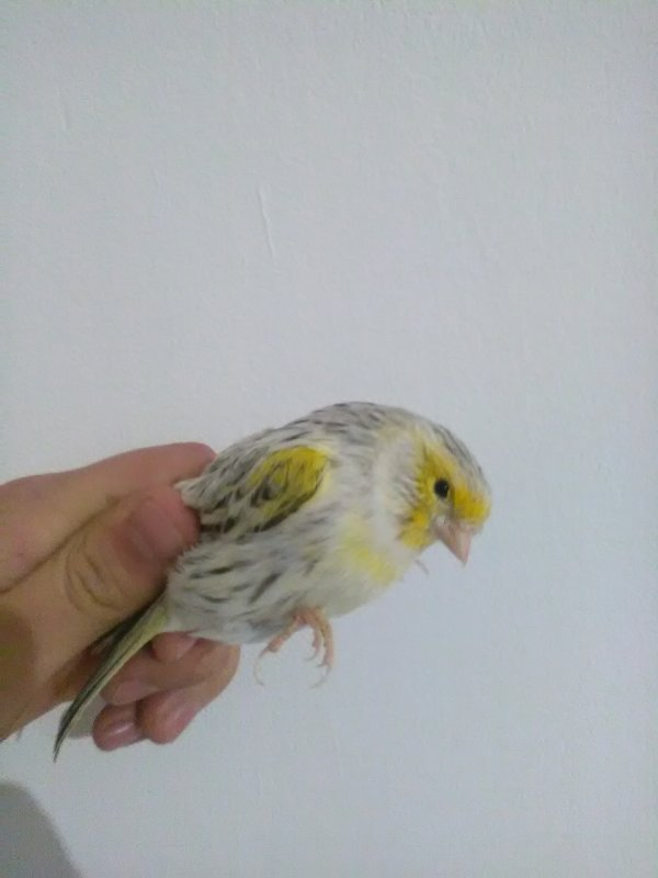 canari agate mosaique jaune
