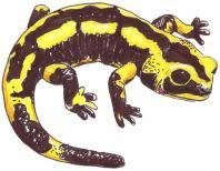Bienvenue sur le blog des amateurs de tritons et de salamandres