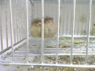 gloster chicks cinammon + fawn