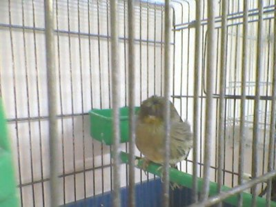 female vert gloster canary