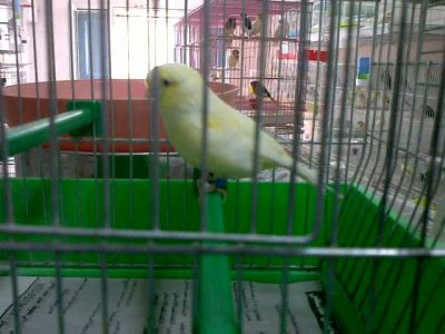 yellow gloster canary 2011
