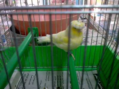 yellow grizzle gloster canary 2011