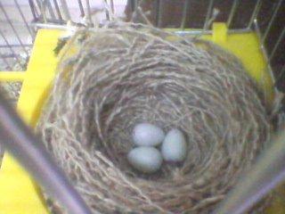 Canaries a commencé à pondre des ½ufs