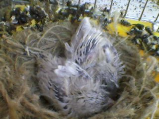 canary chick 2012