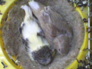 gloster chick 17 daYS