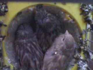 gloster chicks