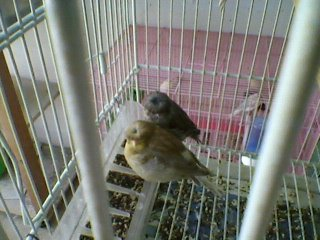 gloster chick