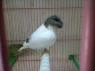 gloster canary 2-2012 breed