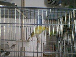 female south dutch frill canary