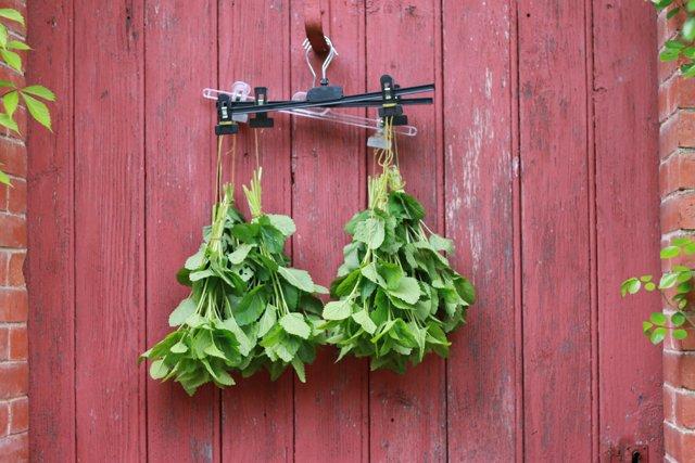 Comment utiliser les plantes. Séchage et infusion. [Article #002]