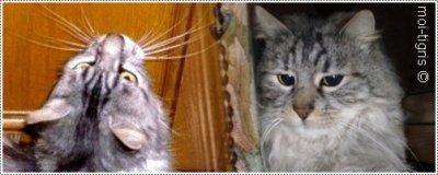 Tigris le chat gris