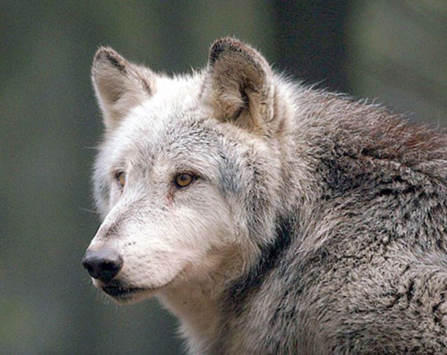ptit-wolf45