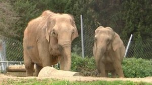 Lyon.Parc de la Tête d'Or : deux éléphants condamnés à mort avant Noël