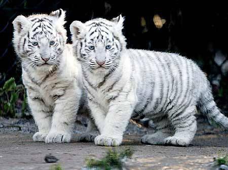 2 mignon petits tigres