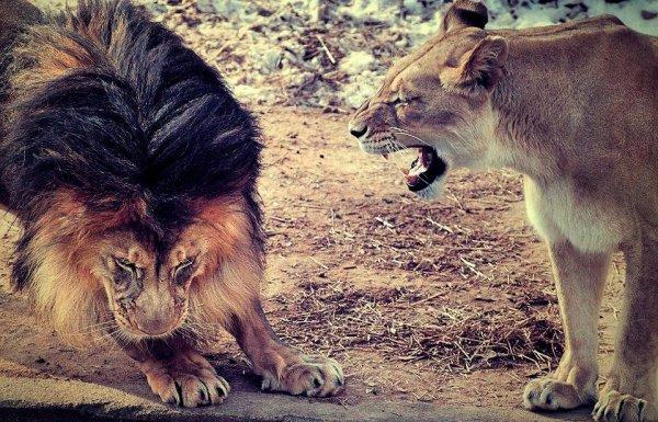 Ton Amour est un animal sauvage, personne n'a jamais vraiment réussi à le dompter . Sexe faible ?