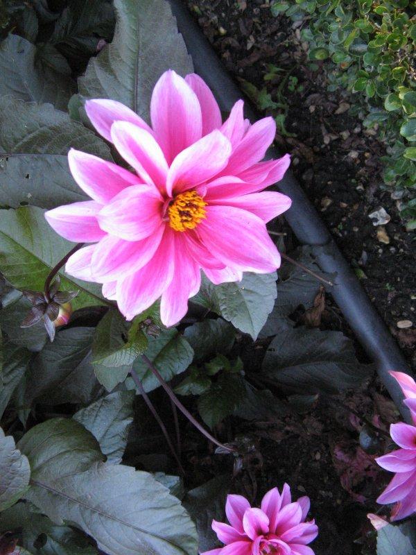 un début de créa....pour s'amuser gentiment ,  c'est une tirelire et une photo de dalhia à chaque article du jardin des plantes de rouen