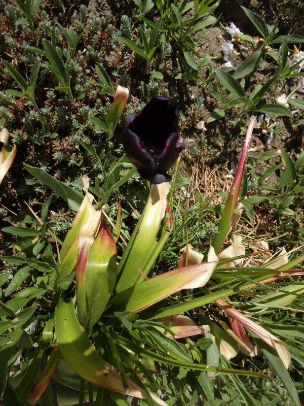 ma tulipe noire
