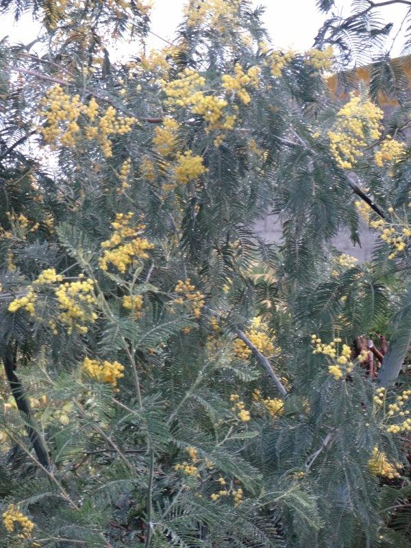 en normandie mon mimosas