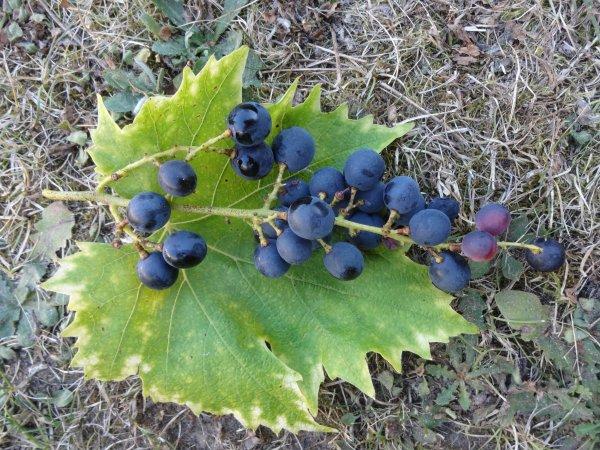 le raisin de mon jardin  juste une grappe pour cette année