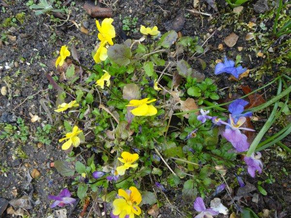 comme promis les fleurs de mon jardin,   le mimosas, et autres