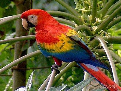 aujourd hui un joli perrroquet   pour vous toutes    quelles belles couleurs ....