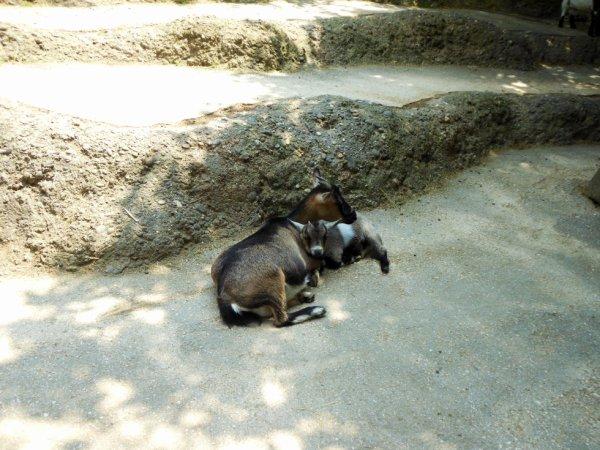 Maman et bébé chèvres
