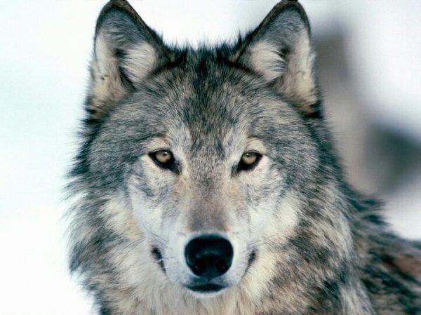 Le vieux loup solitaire