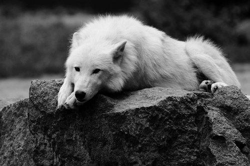 Loup !!