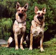 Bergers allemand jumeaux