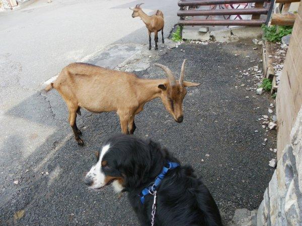 La chèvre est Savoyarde la chienne est ...a kiki !