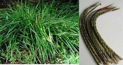 pour info , je cultive ma propre swett grass  (voici comment vous en procurrez )