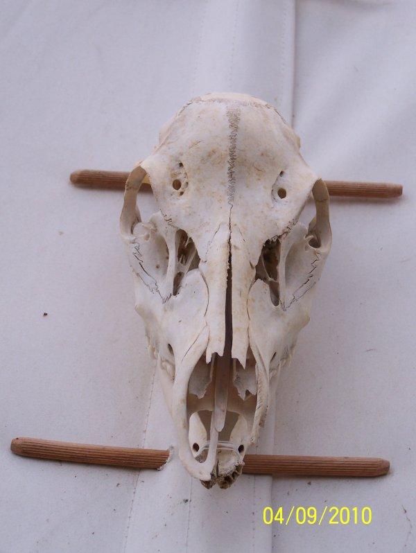 crane de cerf