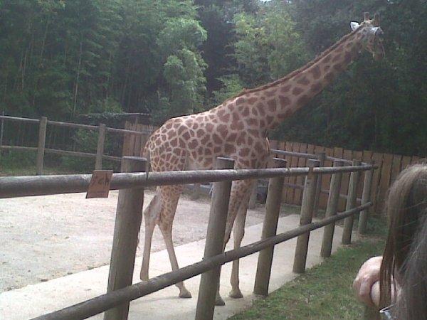 une girafe aux zoo des sables.