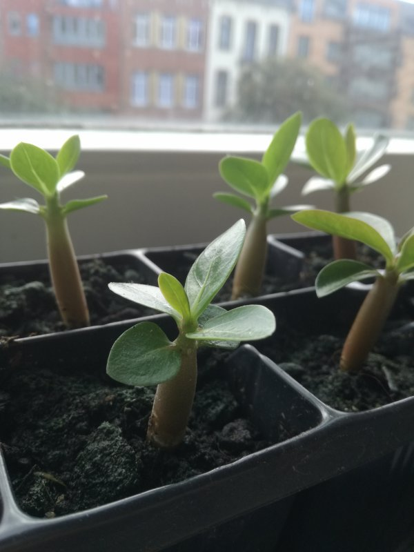 Les petits Adeniums grandissent !