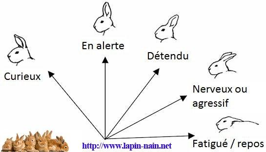Les habitudes et le langage de nos petit lapin