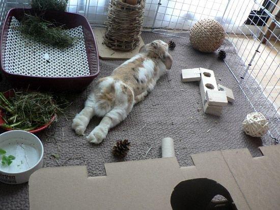 L'installation de votre lapin nain