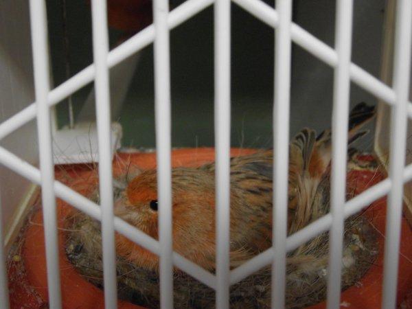 Achat Rot Ivoor Weibchen