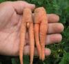 Un petit couple de carottes!!