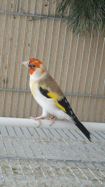 Mashàa-allah magnifique mâle porteur lutino , pour ça première année il à fait du bon boulot ;)