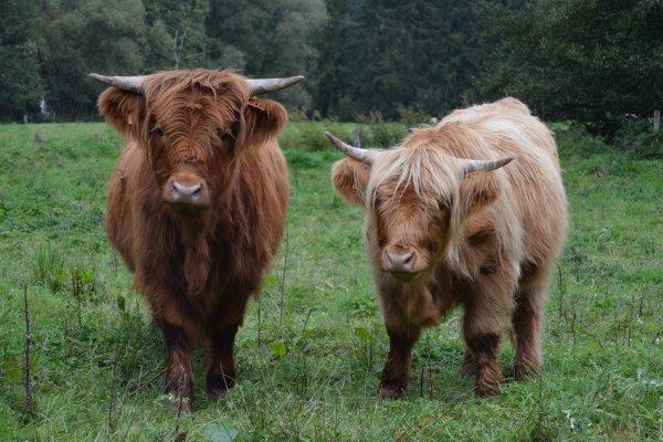 """Papa: """"Sam vom Lindenhof"""" Highland Cattle - 5 ans/Jahre"""
