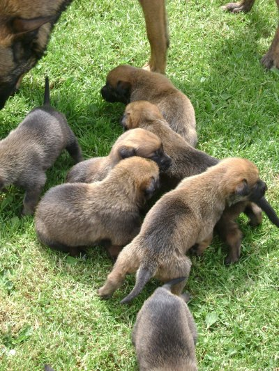 Chiots Galice a 3 semaines