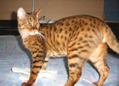 Chat bengal a vendre france
