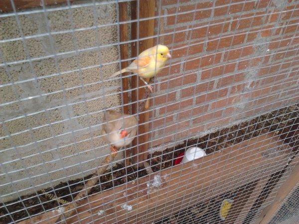voici ma femelle cannarie et  ma femelle mandarin  quand jeune mandarin sortirons du nid je  metterais des photos