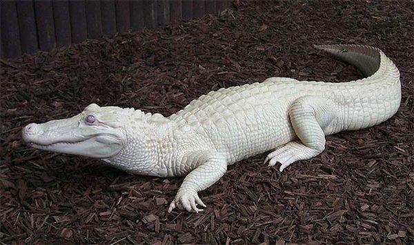 Crocodile blanc trouver