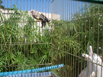 femelle parva en muation Agate